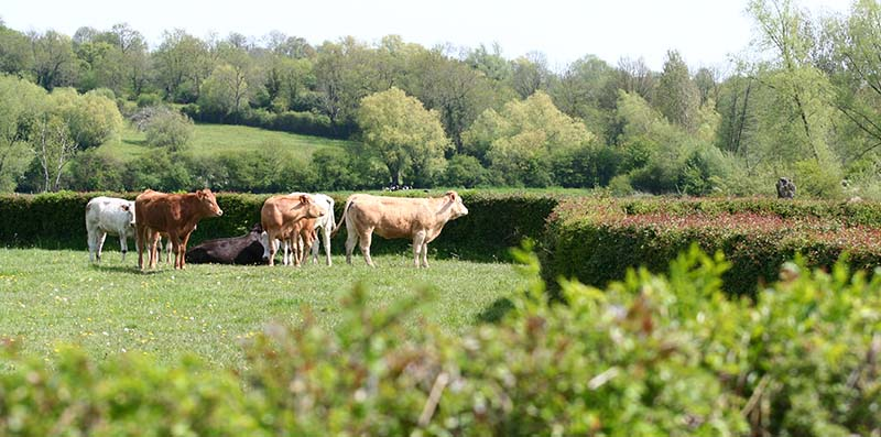 vaches_bocage